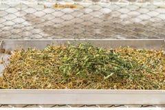 Seqúese de la planta del paniculata de Andrographis en uso de la bandeja del acero inoxidable Imagen de archivo libre de regalías