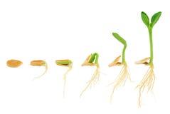Seqüência da planta da abóbora que cresce isolada Fotos de Stock Royalty Free