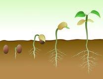A seqüência do feijão semeia a germinação no solo Imagens de Stock Royalty Free