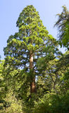 Seqoiadendron Gigantem (Mammoth tree) Stock Images
