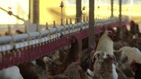 Sequência da exploração agrícola de galinha filme
