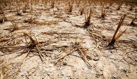 Sequía del arroz field-1 Foto de archivo