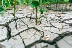 sequía Soja del campo cosecha Fotos de archivo libres de regalías