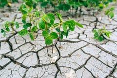 sequía Soja del campo cosecha Imagenes de archivo