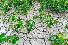 sequía Soja del campo cosecha Foto de archivo libre de regalías