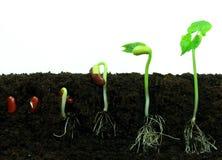 Sequance de germination Photo libre de droits