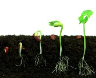 Sequance des haricots de germination Photo stock
