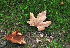 Seque as folhas de bordo caídas Foto de Stock