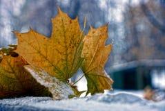 Seque as folhas do bordo na neve imagem de stock royalty free