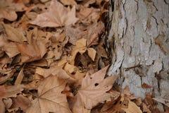 Seque as folhas e o tronco de árvore Imagens de Stock