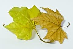 Seque as folhas em um fundo branco Imagens de Stock Royalty Free