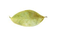 Seque as folhas isoladas no branco Foto de Stock