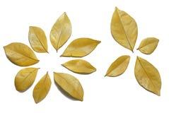 Seque as folhas isoladas no fundo branco dourado Imagens de Stock Royalty Free