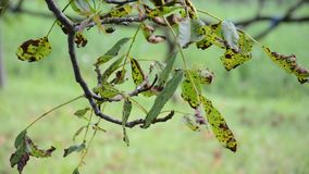 Seque as folhas na árvore durante a seca filme