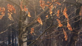 Seque as folhas na árvore na floresta do outono poucas folhas na árvore Carvalho do outono filme
