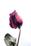 Seque color de rosa foto de archivo