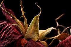 Seque color de rosa Foto de archivo libre de regalías