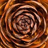 Seque color de rosa Imagen de archivo libre de regalías