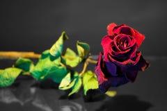 Seque color de rosa Fotografía de archivo