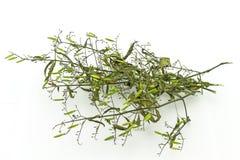 Seque da planta do paniculata de Andrographis no uso branco do fundo para Imagens de Stock