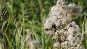Seque el mechón plumoso del arvense del Cirsium del cardo de arrastramiento y las flores marchitas metrajes