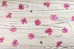 Seque flores cor-de-rosa do gerânio em um fundo branco Fotos de Stock