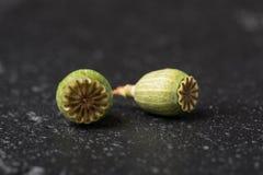 Seque la flor verde de la amapola, semillas de la caja en un fondo negro Macro Foto de archivo