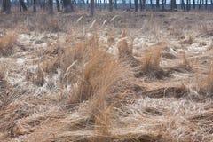 Seque la hierba gris en un campo, foto del ` s del año pasado del modelo Foto de archivo