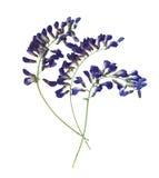 Seque la perspectiva presionada del primer del guisante de olor, azul vivo delicado imagenes de archivo