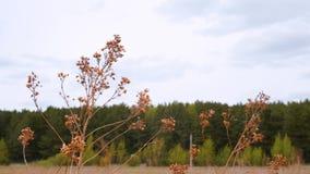 Seque la planta amarilla en campo del otoño con el bosque en fondo almacen de metraje de vídeo
