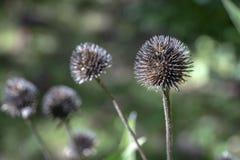 Seque las cabezas espinosas del echinacea contra el contexto del verde soleado del jardín fotos de archivo
