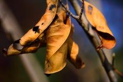 Seque las hojas Fotografía de archivo libre de regalías