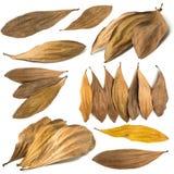 Seque las hojas aisladas en un fondo blanco Imagen de archivo libre de regalías