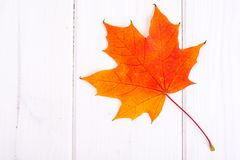 Seque las hojas de arce coloreadas contra los tableros blancos Fotografía de archivo