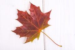 Seque las hojas de arce coloreadas contra los tableros blancos Fotos de archivo libres de regalías
