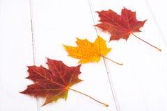 Seque las hojas de arce coloreadas contra los tableros blancos Fotos de archivo