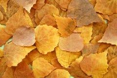 Seque las hojas de otoño amarillas del abedul, visión superior Fotografía de archivo libre de regalías