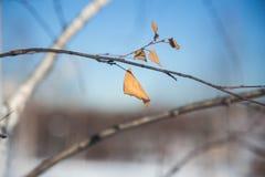 Seque las hojas de un abedul en el invierno Foto de archivo