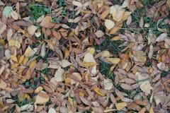 Seque las hojas del serbal y del abedul en hierba Fotografía de archivo libre de regalías