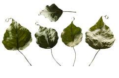 Seque las hojas en aislado imagen de archivo libre de regalías