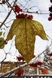 Seque las hojas en el árbol Fotografía de archivo libre de regalías