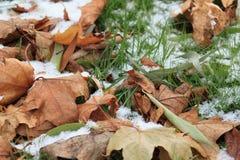 Seque las hojas en la hierba verde sitiada por la nieve en parque Fotografía de archivo libre de regalías