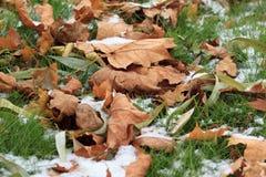 Seque las hojas en la hierba verde sitiada por la nieve en parque Imágenes de archivo libres de regalías