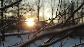 Seque maçãs inoperantes em um ramo contra um fundo do sol brilhante no inverno vídeo de movimento lento vídeos de arquivo
