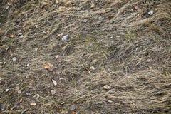 Seque, no ano passado grama do ` s Textura velha do fundo da palha Atrav?s da grama podre velha quebra a grama nova foto de stock