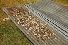 Sequedad de la raíz de Kava en el pueblo de Navala, Viti Levu, Fiji Imágenes de archivo libres de regalías