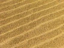 Sequedad del arroz en el sol Foto de archivo