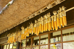 Sequedad del maíz imagen de archivo libre de regalías