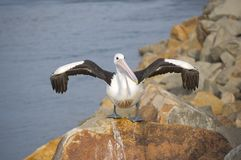 Sequedad del pelícano es alas Fotografía de archivo