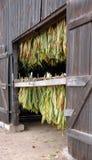 Sequedad del tabaco de la cortina en granero Imágenes de archivo libres de regalías